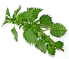Picture of Nettle - stinging